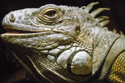 website foto iguana