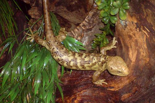 website foto corucia zebrata1