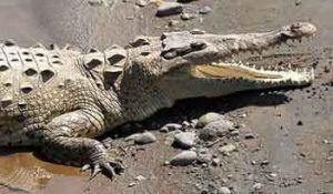 Crocodylus acutus4