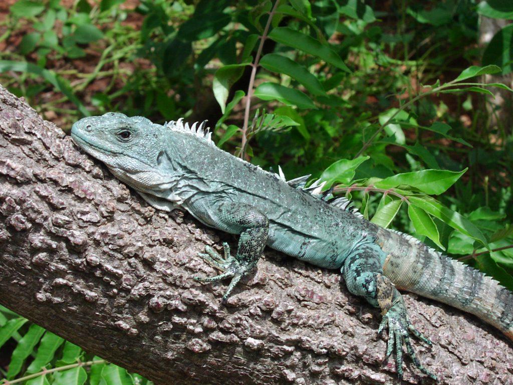 Utila Spiny-tailed Iguana, Baker's Spinytail Iguana, Swamper, Wishiwilly Del Suampo of gewoon wetenschappelijk genaamd Ctenosaura bakeri