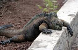 070 Lazy Iguana