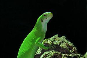 fasciatus