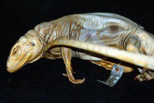 Cyclura onchiopsis (†)
